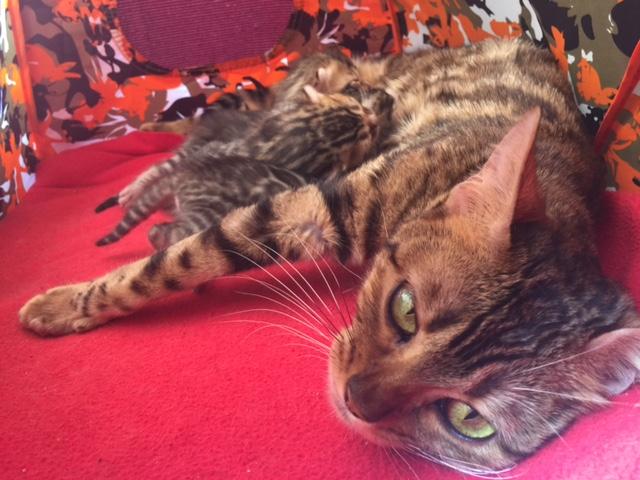 Belladonna Bengal Kitten