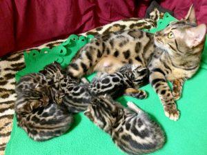 Bengalkatzen Kitten 3 Wochen alt