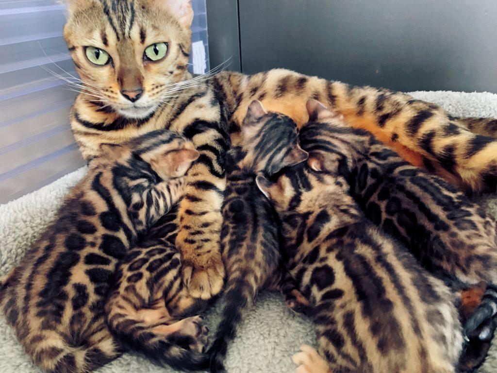 Broderwood's Esmeralda mit den 5 Bengal Kitten