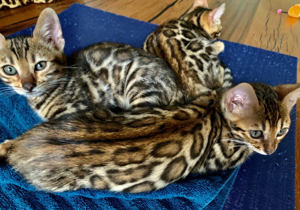 Bengal Kitten 12 Wochen alt